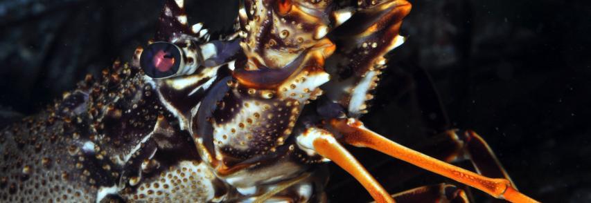 La Lav: L'aragosta è capace di soffrire, la Cassazione conferma condanna per un ristoratore