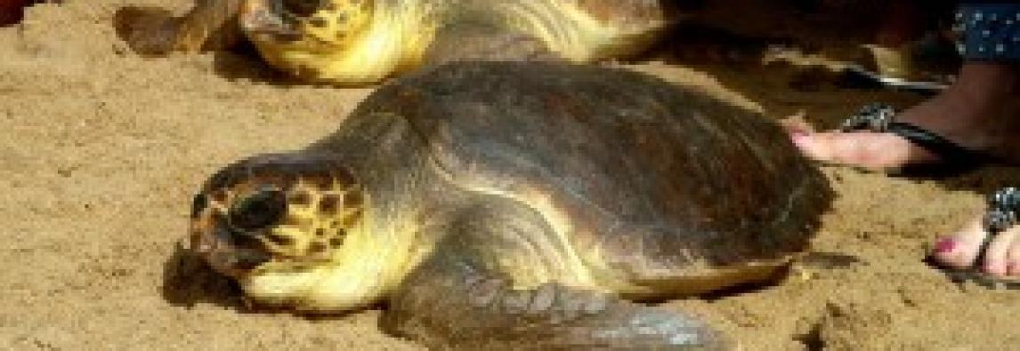 """Dal """"Tartalife"""" dati preoccupanti sulla popolazione di Tartaruga marina: rischio di estinzione nel giro di pochi anni."""