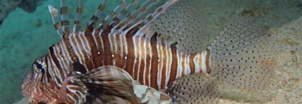 Mediterraneo a rischio invasione pesce scorpione, è velenoso – Iucn, specie tropicale invasiva trovata in mare turco e cipriota