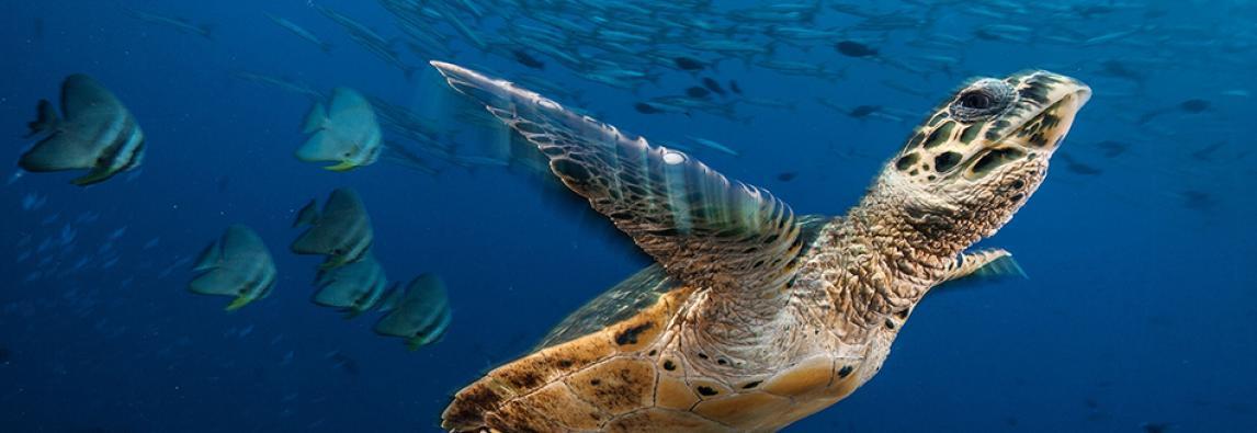 Tartarughe, veterani degli oceani a rischio estinzione